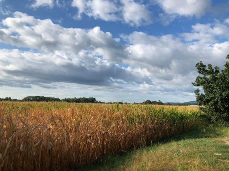 The cornfields en route to Eguisheim