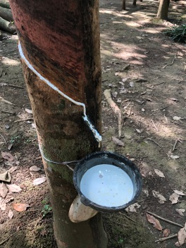 rubber tree we saw on our trek